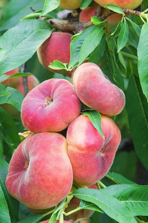 Prunus persica - 'Angel' Peach