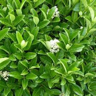 Viburnum odoratissimum -  Awabuki