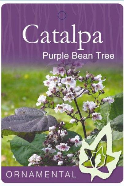 Catalpa bignonioides purpurea - Purple Bean Tree