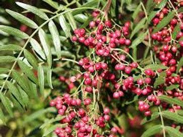 Schinus molle - Peppercorn Tree