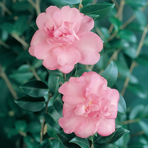 Camellia sasanqua - Enid Alice