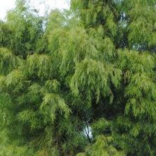 Acacia cognata - Bower Wattle