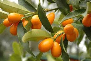 Fortunella margarita - Kumquat 'Nagami'