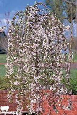 Prunus subhirtella 'Snofozam' - Weeping Cherry White