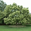Thumbnail: Sophora japonica - Japanese Pagoda Tree