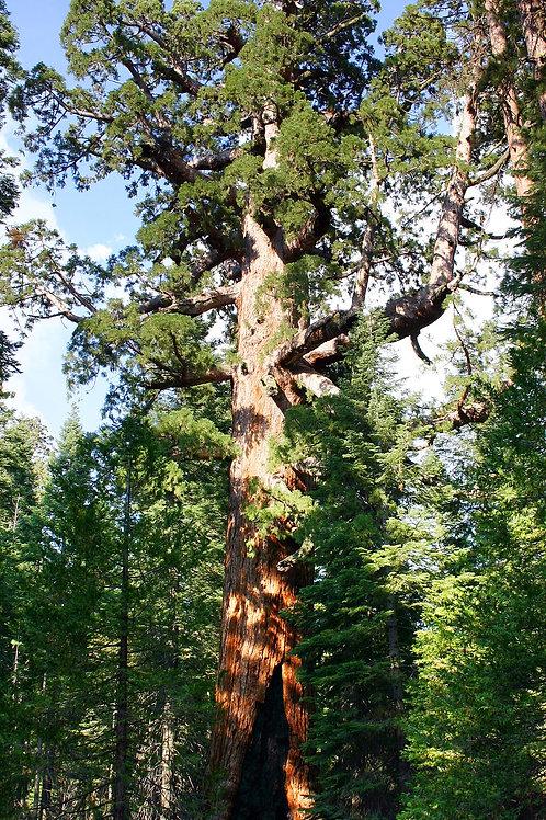 Sequoiadendron giganteum - Giant Sequoia