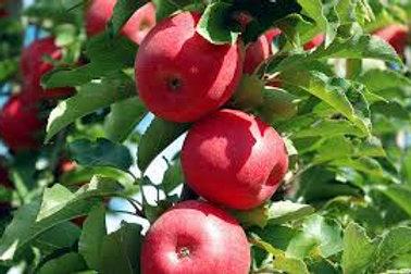 Malus domestica - 'Pinkabelle Dwarf' Apple
