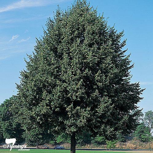 Tilia cordata - Linden Tree 'Green Spire'