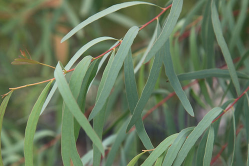 Eucalyptus nicholii - Peppermint Gum