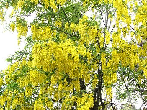 Laburnum x watereri 'Vossii' - Golden Chain Tree