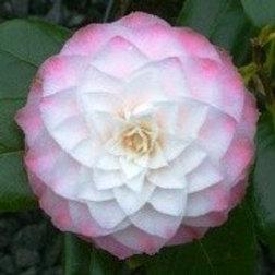 Camellia japonica - Nuccio's Pearl