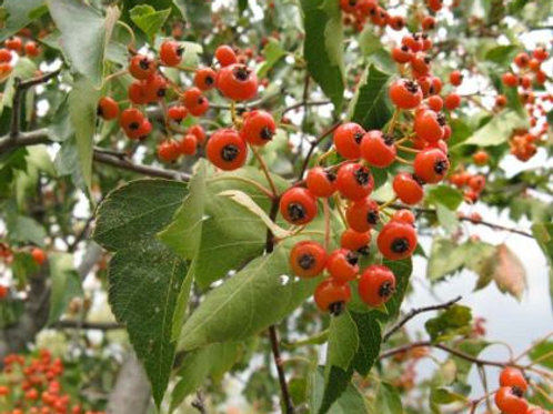 Crataegus phaenopyrum - Washington Hawthorn