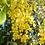 Thumbnail: Cassia fistula - Golden Shower Tree