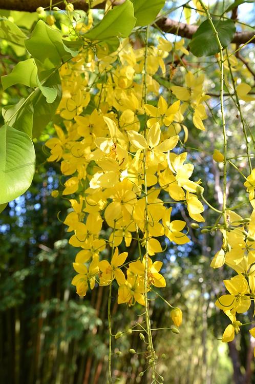 Cassia fistula - Golden Shower Tree