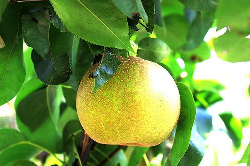 Pyrus communis - 'Bonza' Pear