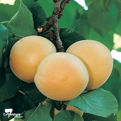 Prunus armeniaca - 'Trevatt' Apricot