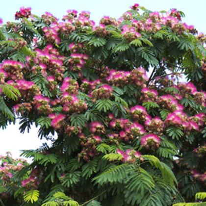 Albizia julibrisin - Persian Silk Tree