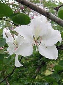 Bauhinia variegata alba - White Orchid Tree