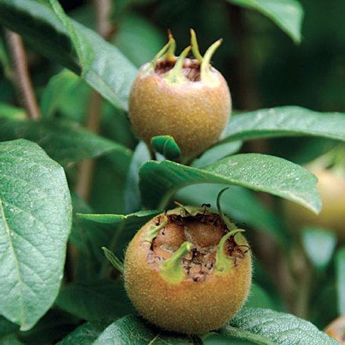 Mespilus germanica - Dutch Medlar