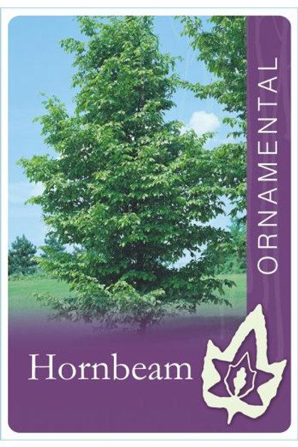 Carpinus betula - Hornbeam