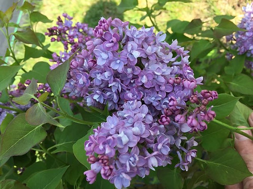Syringa vulgaris - Blue Hyacinth