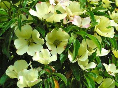 Cornus capitata - Himalayan Dogwood