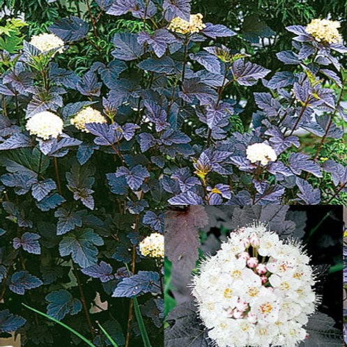 Physocarpus opulifolius - Diabolo