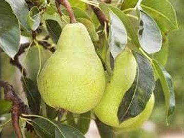 Pyrus communis - 'Packhams Dwarf' Pear