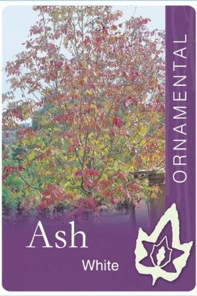 Fraxinus americana - White Ash
