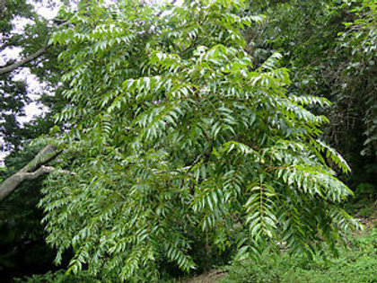 Toona ciliata - Australian Red Cedar