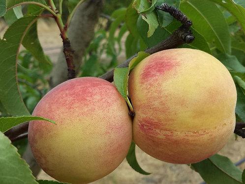 Prunus persica - 'Fragar' Peach
