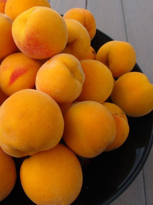 Prunus persica - 'Golden Queen' Peach