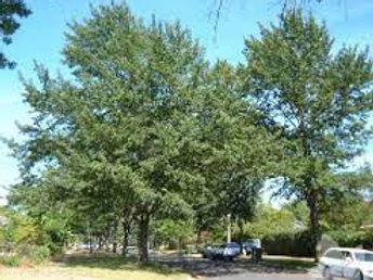 Quercus cerris - Turkey Oak