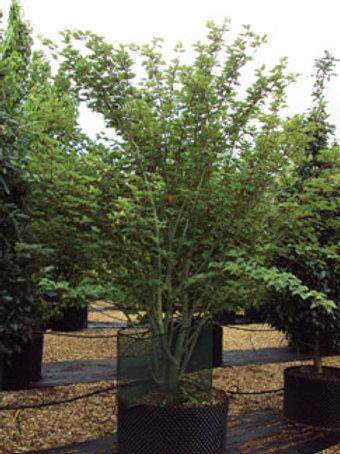 Acer davidii - David's Maple