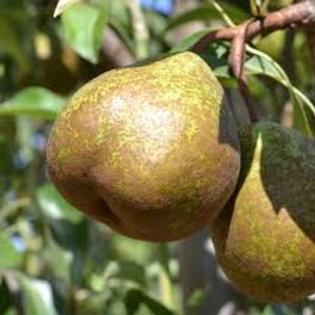 Pyrus communis - 'Winter Nelis' Pear