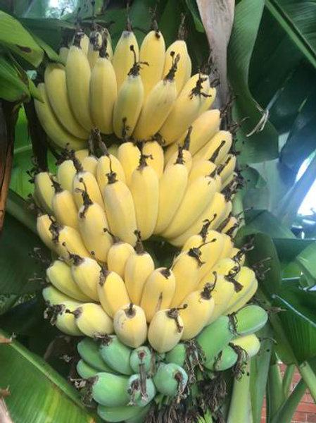 Musa sp - Banana 'Dwarf Cavendish'
