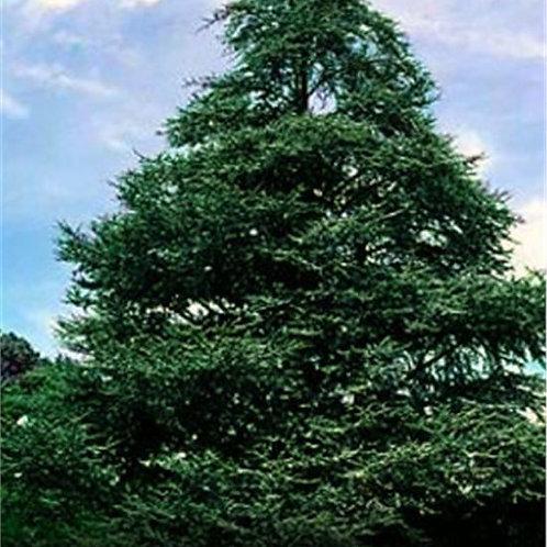 Cedrus atlantica - Atlas Cedar