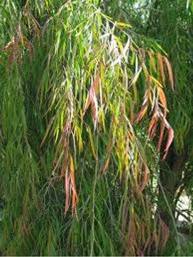 Agonis flexuousa - Peppermint