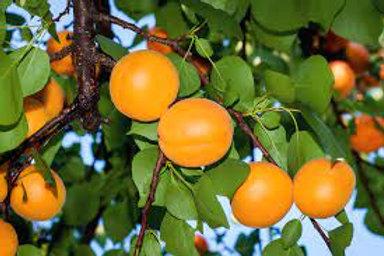 Prunus armeniaca - 'Bulida' Dwarf Apricot