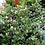 Thumbnail: Rhaphiolepis umbellata - Yeddo Hawthorn