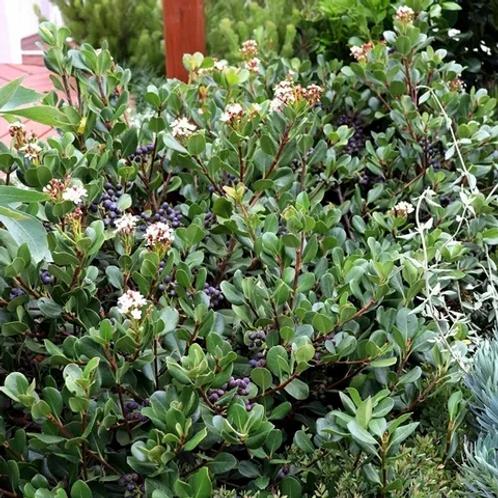 Rhaphiolepis umbellata - Yeddo Hawthorn