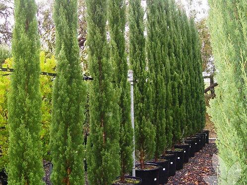 Cupressus sempervirens glauca - Blue Pencil Pine