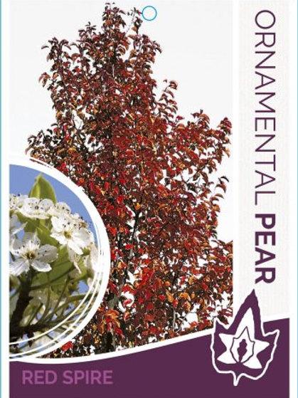 Pyrus calleryana - Red Spire