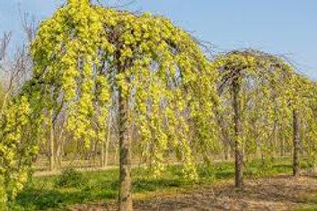 Ulmus glabra camperdownii - Weeping Elm