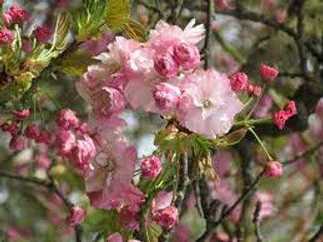 Prunus serrulata - Pink Perfection