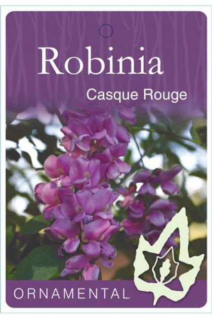 Robinia x ambigua - Casque Rouge