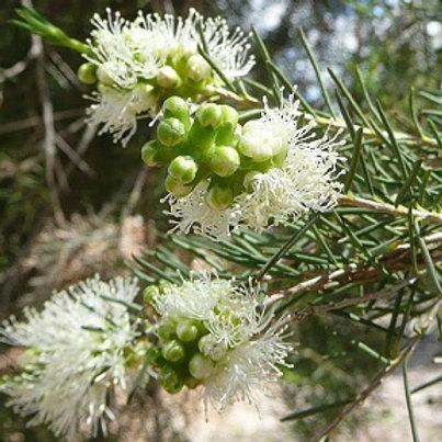 Melaleuca rhaphiophylla - Swamp Paperbark