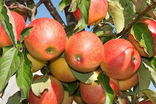 Malus domestica - Columnar Apple 'Herald'