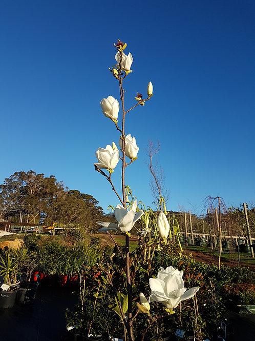 Magnolia denudata - Yulan