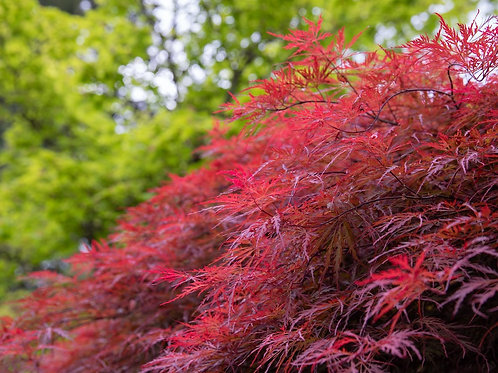Acer palmatum dissectum 'Inaba shidare' - Weeping Maple Laceleaf Red